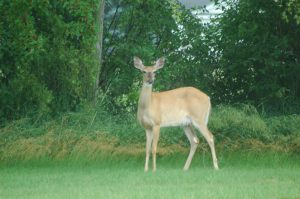 Deer, River Raisin, Tecumseh MI